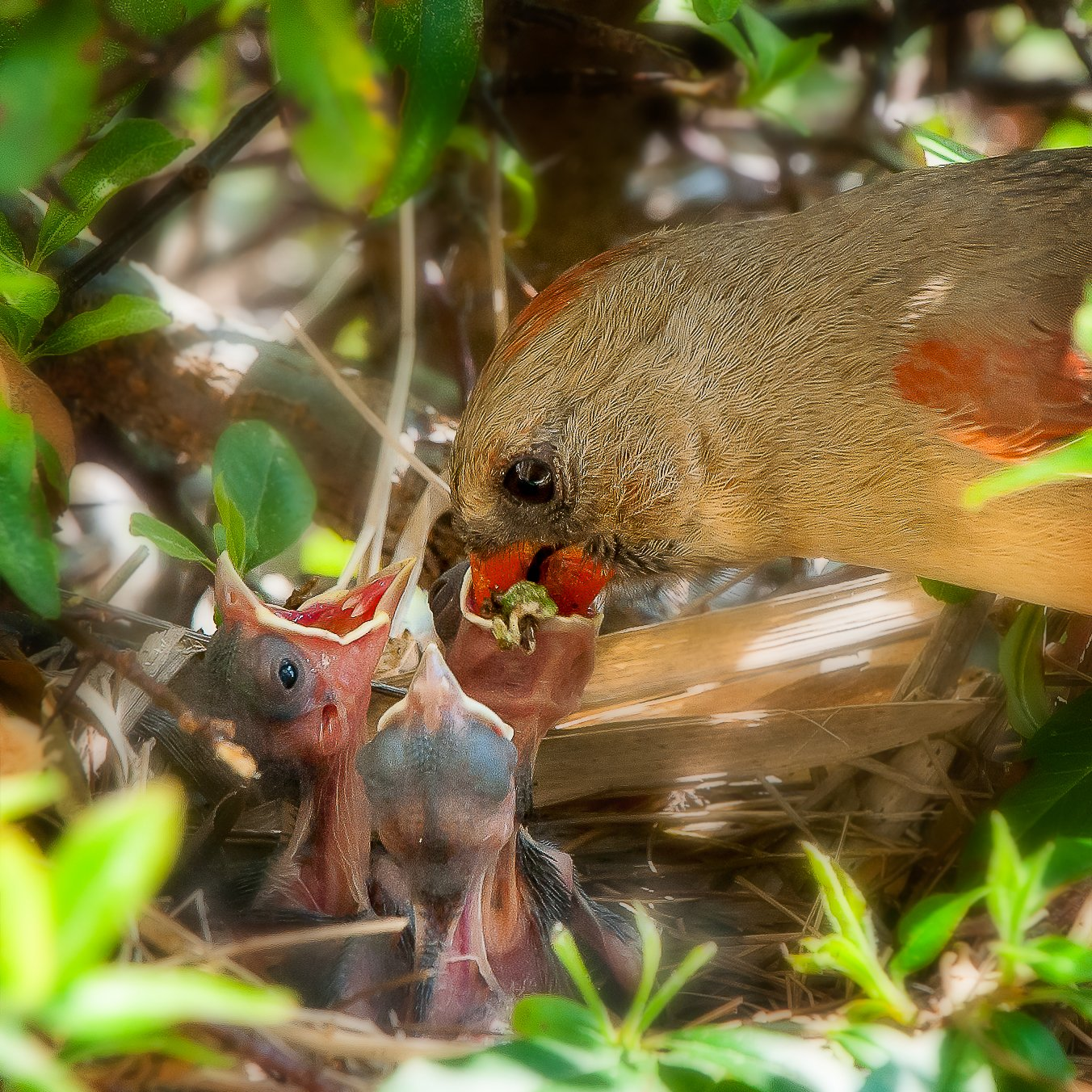 female cardinal with chicks _DSC5316 D700-edited