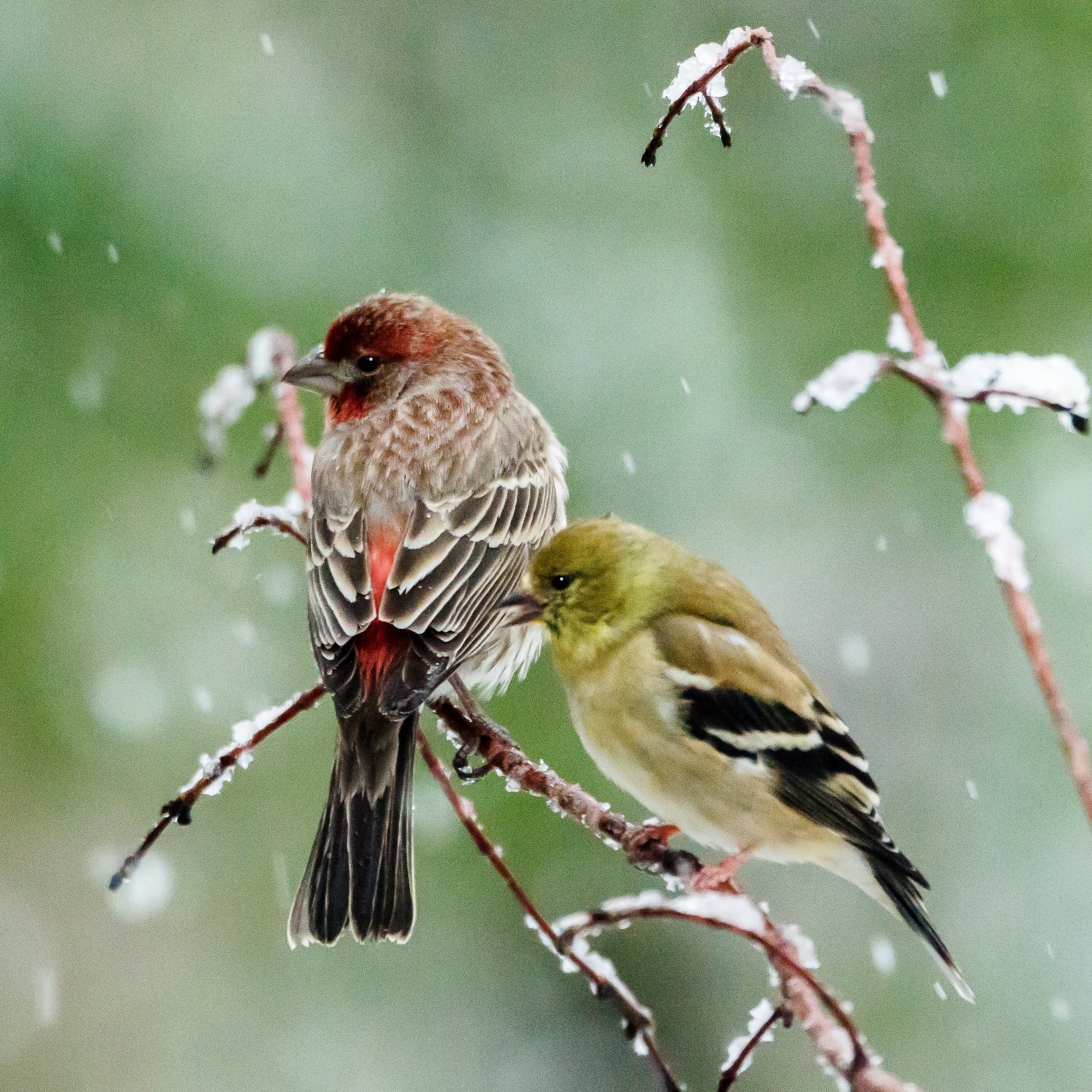 house finch and goldfinch in snow D5100 _DSC2215