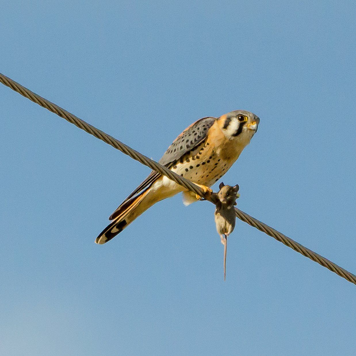 kestrel and mouse D5100 1×1 _DSC8758