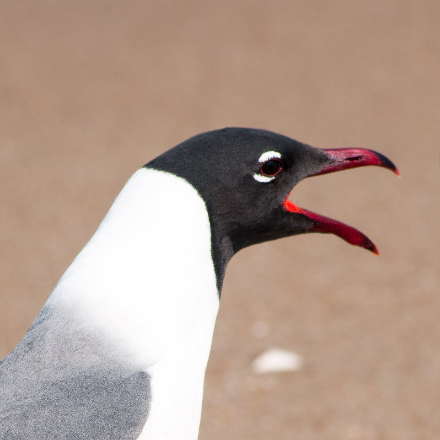 laughing laughing gull D300 ver2 1×1 _DSC1958