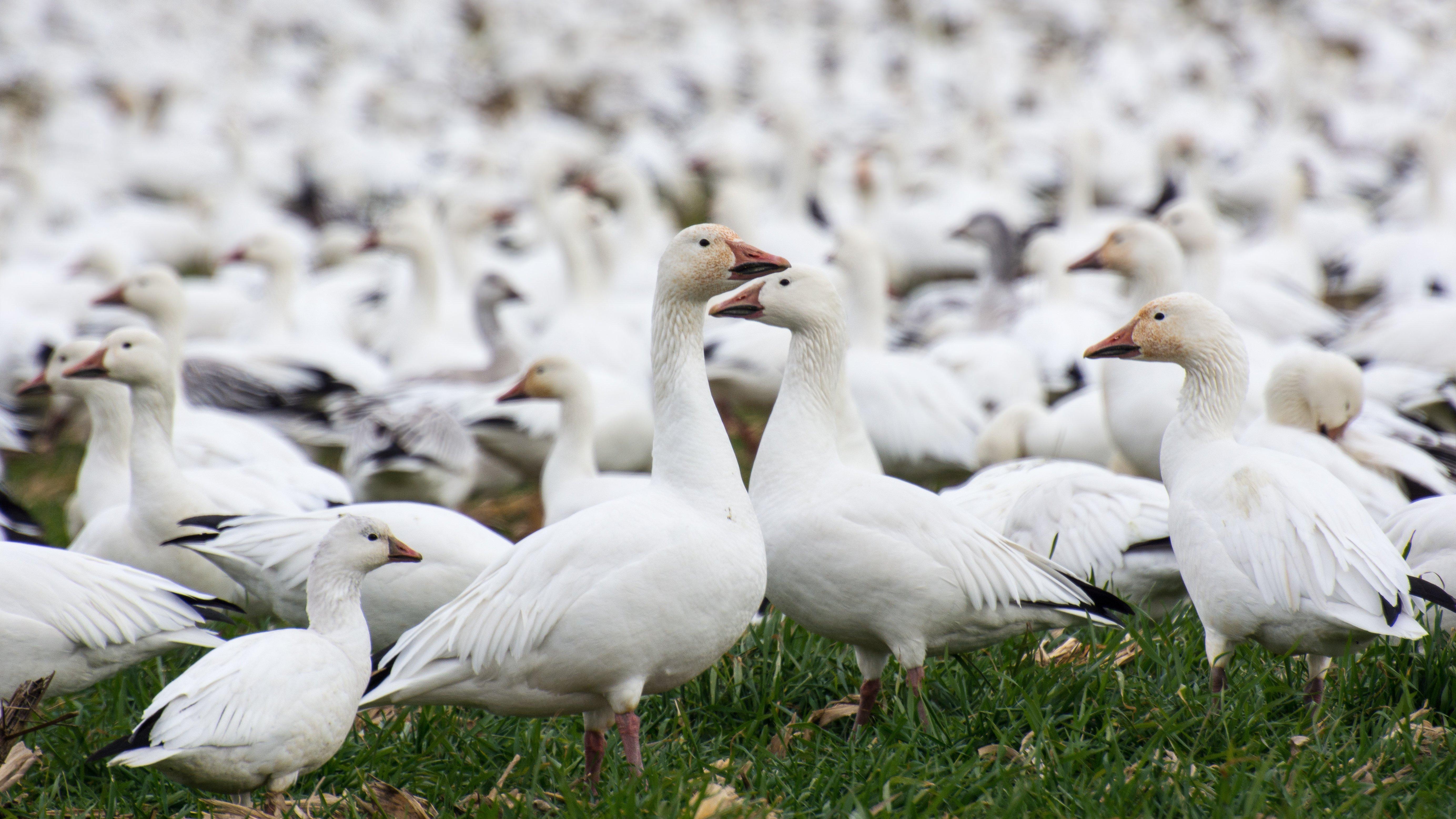 Snow geese D7200 16×9 _DSC7154